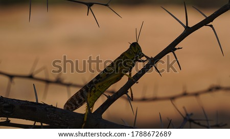 Locust Swarm Picture taken in Dera Ismail Khan, Pakistan