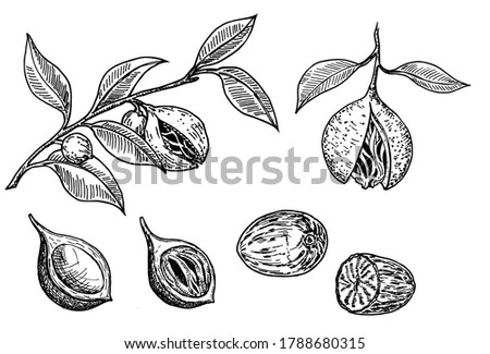 Nutmeg spice vector drawing sketch set. Ground seasoning nut. Condiment engraved illustration. Dried seeds and fresh mace fruits Herbal ingredient, cooking flavor. For template label, packing design Royalty-Free Stock Photo #1788680315