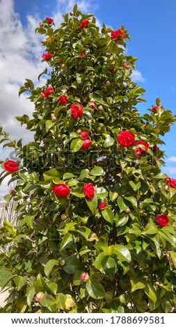 "Untrimmed, flowering, prolific camellia japonica ""Kramer's Supreme"" shrub against the blue sky with light clouds on a sunny day. Rose-like red camellia flowers & dense, glossy,green foliage on a shrub #1788699581"