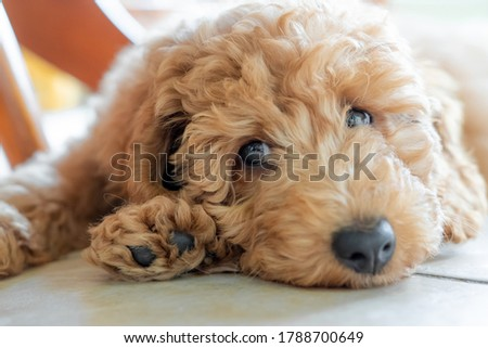 Shallow focus on the eyes of a beautiful pedigree miniature poodle puppy. Seen sulking under a kitchen table on the cool floor tiles. Royalty-Free Stock Photo #1788700649