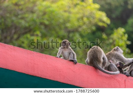 monkeys at batucave selangor,malaysia,the picture taken on July 2020