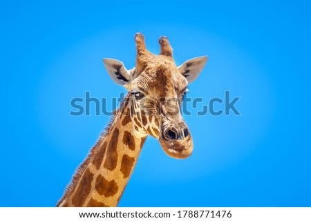 An image of a beautiful Giraffe portrait isolated in front of a blue sky