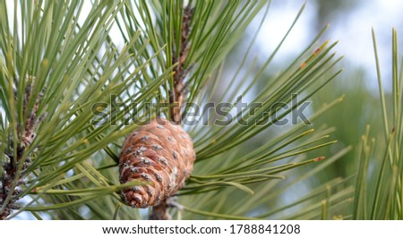 Pine cone in a Pine Tree #1788841208