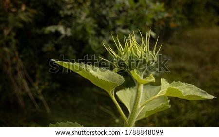 Sunflower Bud. Open flower bud of sunflower - macro photo. Bud of a yellow flower. A bud opening. #1788848099
