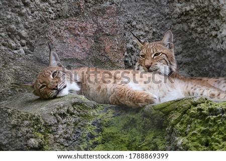 Pair of Eurasian lynx (Lynx lynx) sitting on rock in nature. Beast of prey . Wild big cat. Wildlife scene from nature.  #1788869399