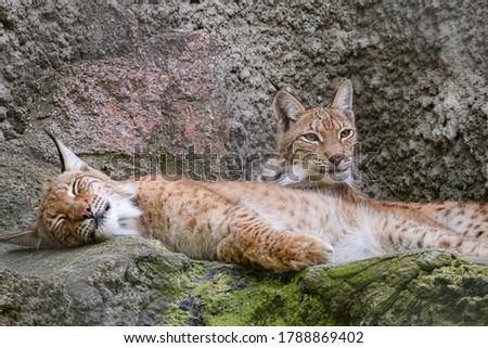 Pair of Eurasian lynx (Lynx lynx) sitting on rock in nature. Beast of prey . Wild big cat. Wildlife scene from nature.  #1788869402