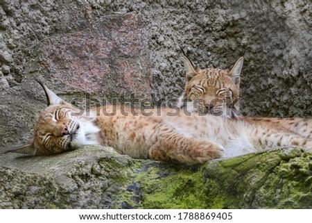 Pair of Eurasian lynx (Lynx lynx) sitting on rock in nature. Beast of prey . Wild big cat. Wildlife scene from nature.  #1788869405