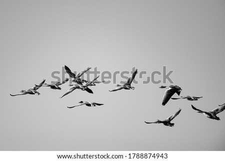 Several Greylag Goose flying through the air on a beautiful summer morning, in a protected nature reserve, breeding area, Volgermeerpolder, Amsterdam, The Netherlands, black and white picture