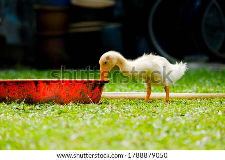 A selective focus picture of duckling drinking water in the poultry farm. The duck been breed for its meat.