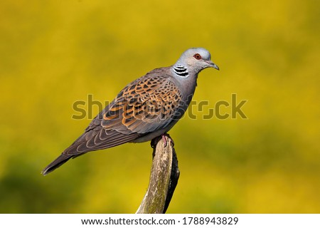 European turtle dove, streptopelia turtur, sitting on bough in summer nature. Wild bird resting on twig from side. Feathered gray patterned animal looking on branch. #1788943829