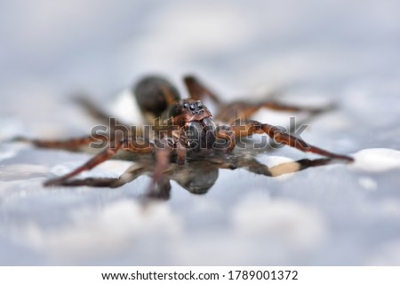 Closeup picture of mature female ground wolf spider Trochosa terricola (Araneae: Lycosidae) with egg sac running over water and creating reflection on mirror-like water surface.