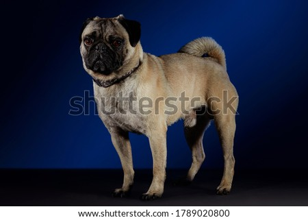 Pug dog posing for photo shoot on a gray table and blue with black background.