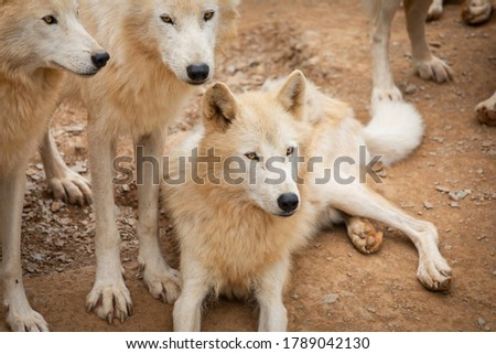 Hudson Bay Wolf Pack Pictured In Padock In UK