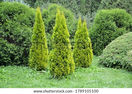 Thuja western, variety Golden Smaragd (Thuja occidentalis L.). Planting conifers Royalty-Free Stock Photo #1789105100