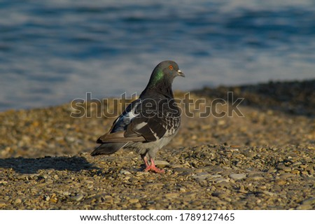 One beautiful bird, a dove, stands on the beach by the sea.