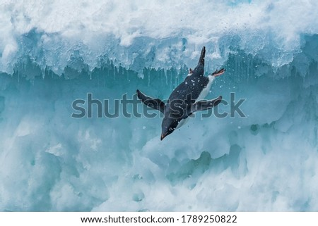 Diving penguin close up photography