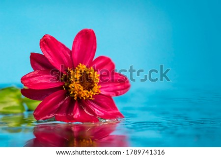 Pink flower on a background of blue water. Macro photo. Fuchsia flower close up. Yellow stamens and pistil. Reflection of a flower in water. Tropical delight. Relaxation theme #1789741316
