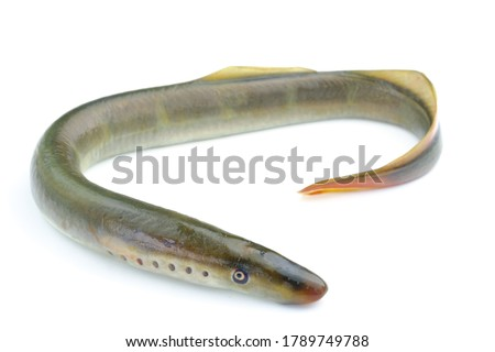 river lamprey, isolated on a white background, a species of predatory jawless fish in the family lampreys Royalty-Free Stock Photo #1789749788