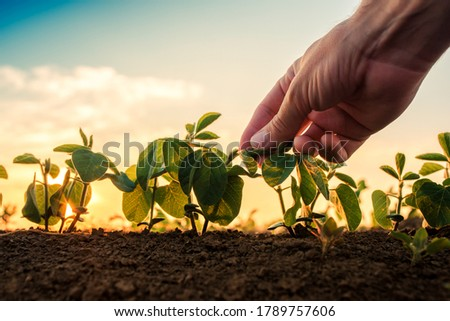 Soybean growth control, male hand touching soy plant leaf in cultivated field #1789757606