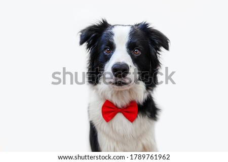 Funny studio portrait puppy dog border collie in bow tie as gentleman or groom isolated on white background. New lovely member of family little dog looking at camera. Funny pets animals life concept Royalty-Free Stock Photo #1789761962