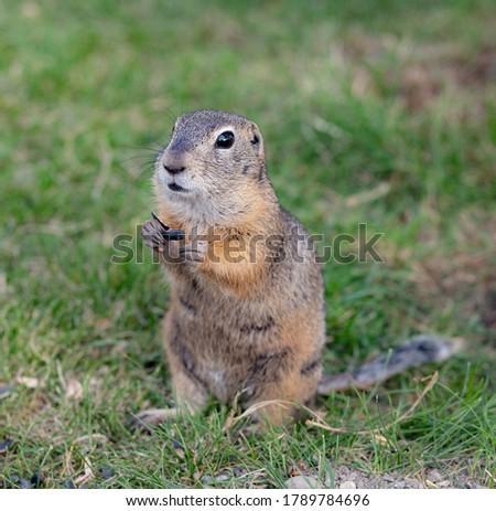 Wild gopher on the green grass eating sunflower seeds