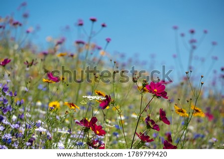 Colourful wild flowers blooming outside Savill Garden, Egham, Surrey, UK, photographed against a clear blue sky. Royalty-Free Stock Photo #1789799420