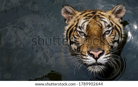 The appearance of a tiger swimming in the water #1789902644
