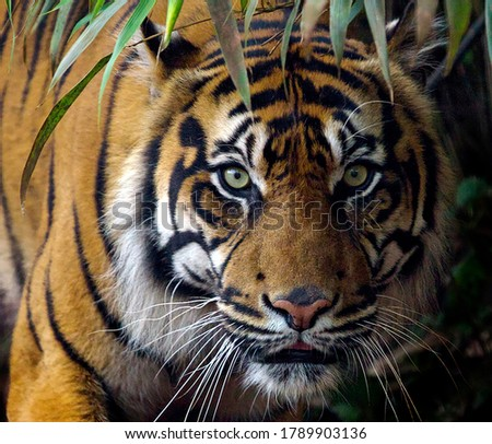 A tiger is targeting to catch its prey #1789903136