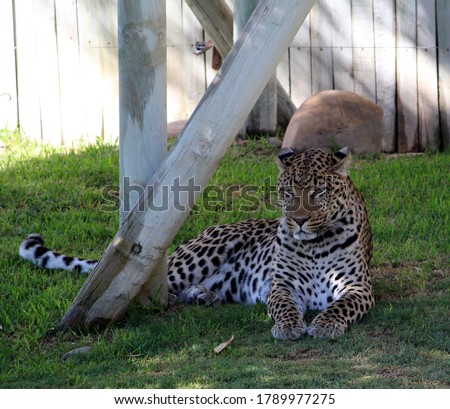 This picture of African leopard was clicked in Cape Town (South Africa). This cat is native to many countries in Africa. Leopards have been recorded in North Africa as well