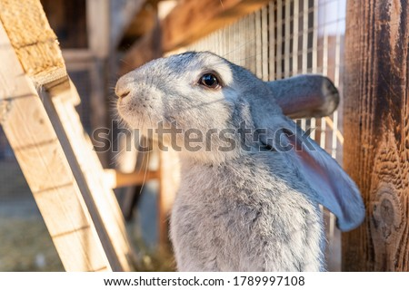 A domestic fluffy gray rabbit looks frightened at the camera with tucked ears. Pets in the village. Caring for domestic rabbits. Easter bunny. Royalty-Free Stock Photo #1789997108
