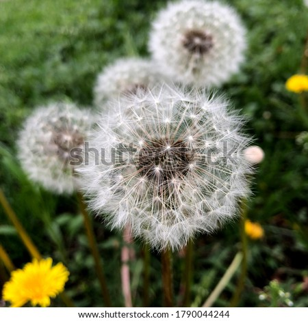 Macro Photo of nature white flowers blooming dandelion. Stock photo Background Beautiful blooming bush of white fluffy dandelions. Dandelion field