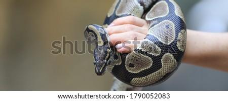 closeup snake python on hand