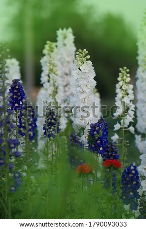 Delphinium flower blooming. Beautiful larkspur blooms. Candle Larkspur plant with flowers on blurred background #1790093033
