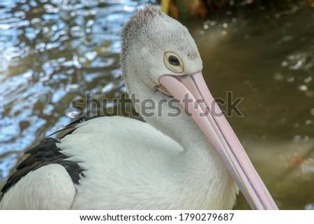 Pelecanus Conspicillatus, australian pelican head, neck and pelicans with close-up photos #1790279687