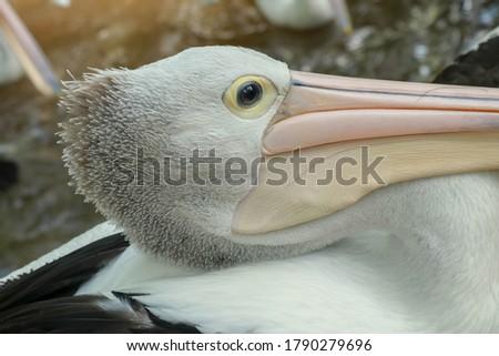 Pelecanus Conspicillatus, australian pelican head, neck and pelicans with close-up photos #1790279696