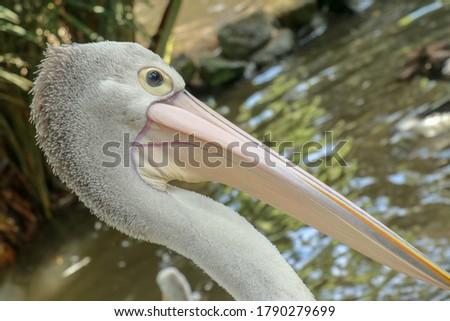 Pelecanus Conspicillatus, australian pelican head, neck and pelicans with close-up photos #1790279699