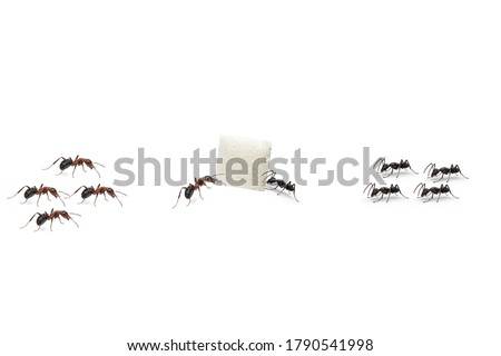 Red ants and Black ants eat a piece of sugar on white background.foraging.scramble. battle