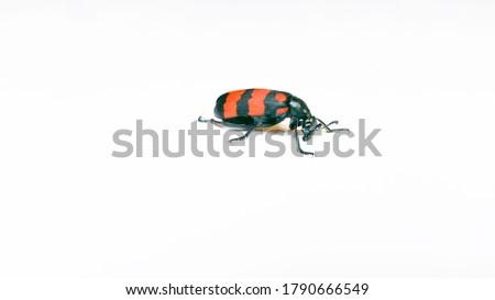 Blister Beetle - Red Blister Beetle - Blister Beetle bug. A Poisonous Blister Beetle. #1790666549