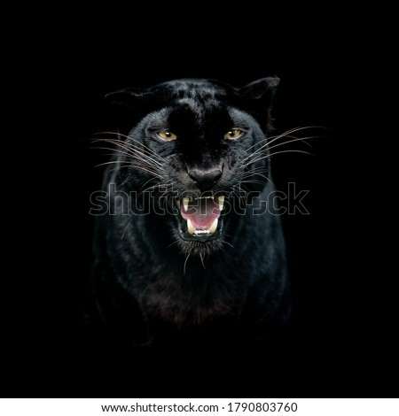 Portrait of a black panther with a black background