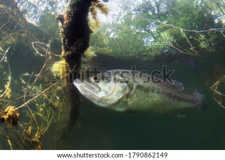 Underwater picture of a frash water fish Largemouth Bass (Micropterus salmoides) nature light. Live in the lake. Blackbass. Close up fish photography. Royalty-Free Stock Photo #1790862149
