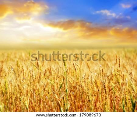 wheat field #179089670