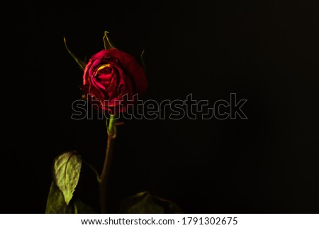 Withered red rose on a dark background with copy space.