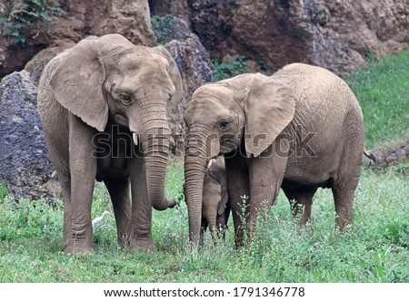 Family of elephants (Loxodonta africana) eating on a grass field. Beutiful animal family scenery with adults and a newborn infant elephant. The african elephant is the largest endangered mammal. Royalty-Free Stock Photo #1791346778