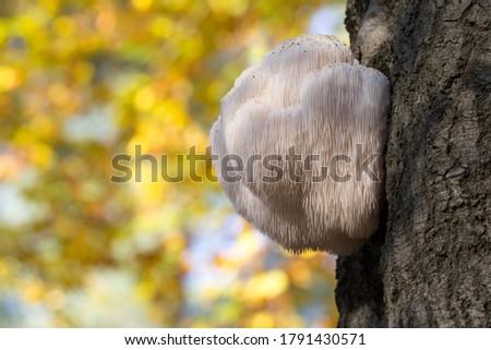 Edible Lion's Mane Mushroom (Hericium erinaceus) in the Netherlands Royalty-Free Stock Photo #1791430571