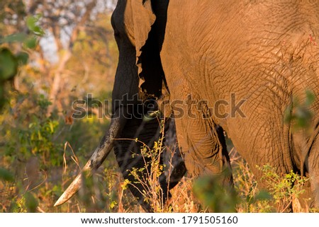 An old bull elephant with big ivory saunters off into the forest after a day feeding out in the lush grasslands of the Katisunga Floodplain in Katavi. Several large  bulls still survived in Katavi  Royalty-Free Stock Photo #1791505160