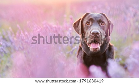 Portrait of a chocolate labrador in a lavender field with a shallow depth of field