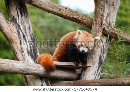 Beautiful picture of a red panda