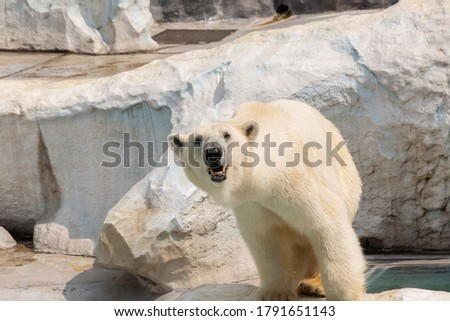 Beautiful picture of a polar bear