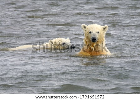 Beautiful picture of polar bears