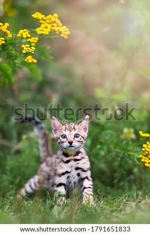 A cute spotted purebred Bengal kitten outdoors in the grass with flowers in the background. Summertime adventure. The kitten is 7 weeks old. Copy space room for text. Royalty-Free Stock Photo #1791651833